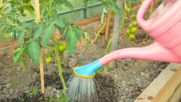 Zalévání rajčat keře ve skleníku