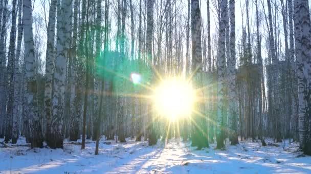 Břízkový háj ve světle západu slunce