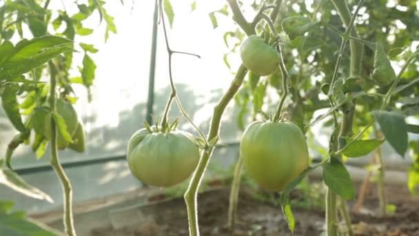 Rajčata pěstovaná ve skleníku v létě