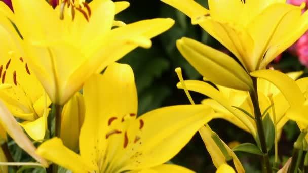 Žluté lilie květiny v zblízka