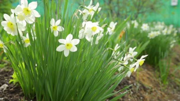 Narcis květiny rostoucí v zahradě