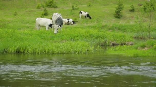 Stádo krav pasoucích se na louce