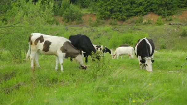 Herd of cows grazing on meadow