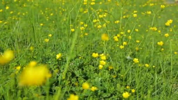 Sárga virágok a réten nyáron