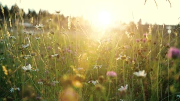 Divoké květiny na louce při západu slunce