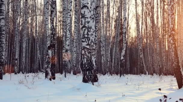 Birch grove in sunset light