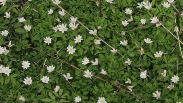 Virágzó hóvirág kora tavasszal