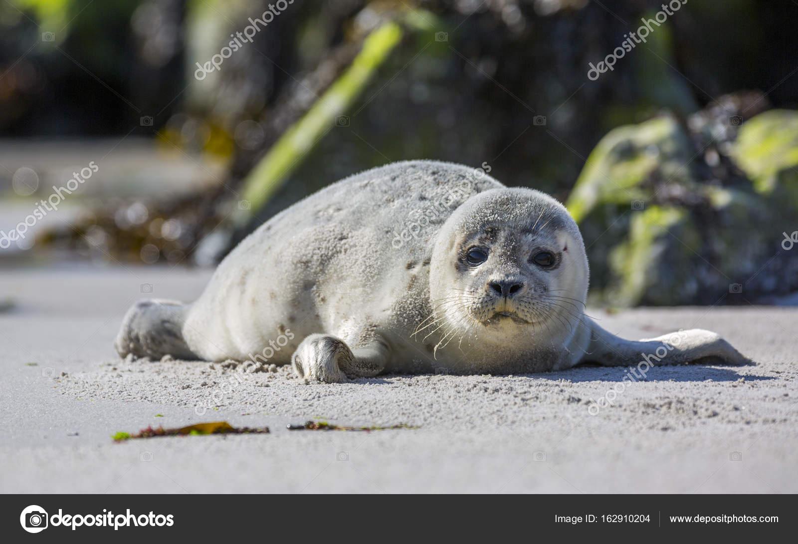 Baby Phoque bébé phoque sur l'île d'helgoland allemand — photographie