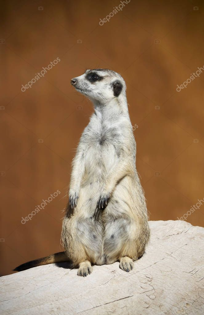 A Meerkat Sentry Alert to Warn of Danger