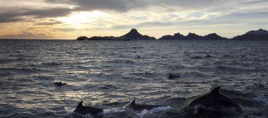 A Scenic Ocean View of a Dolphin Pod Near San Carlos, Sonora, Me