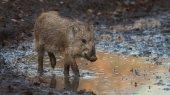 Fotografie Mladá Wild Boar jaro