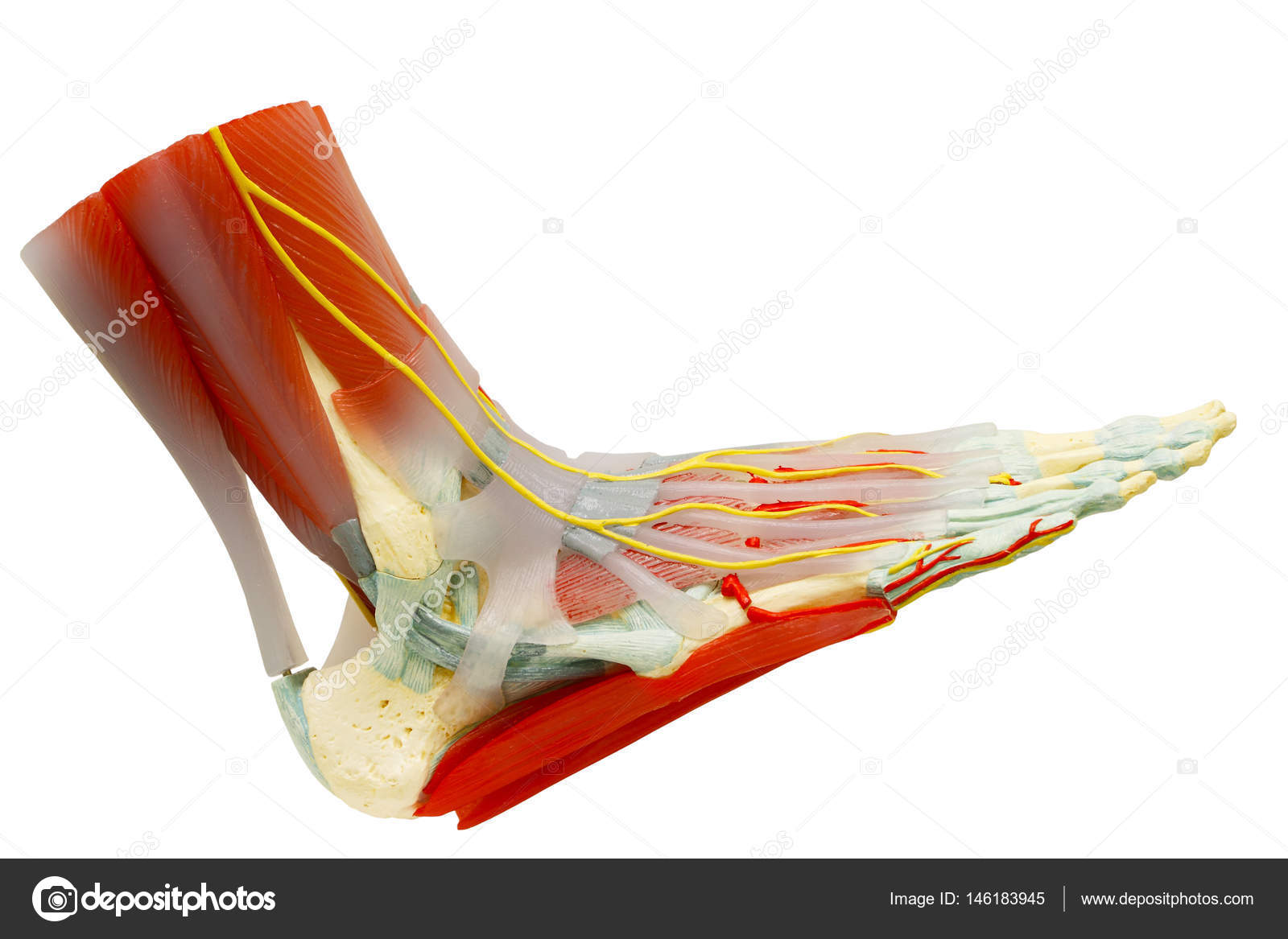 Human right foot muscles anatomy isolated with clipping path ...