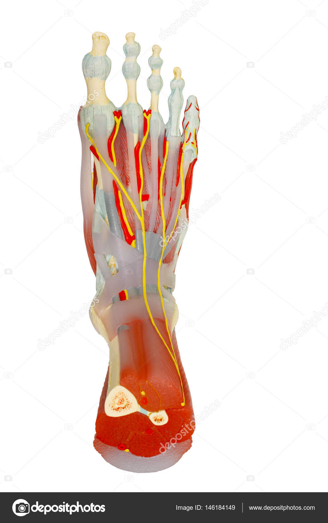 Top view of human foot muscles anatomy isolated with clipping pa ...