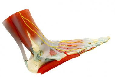 Human right foot muscles anatomy isolated with clipping path.