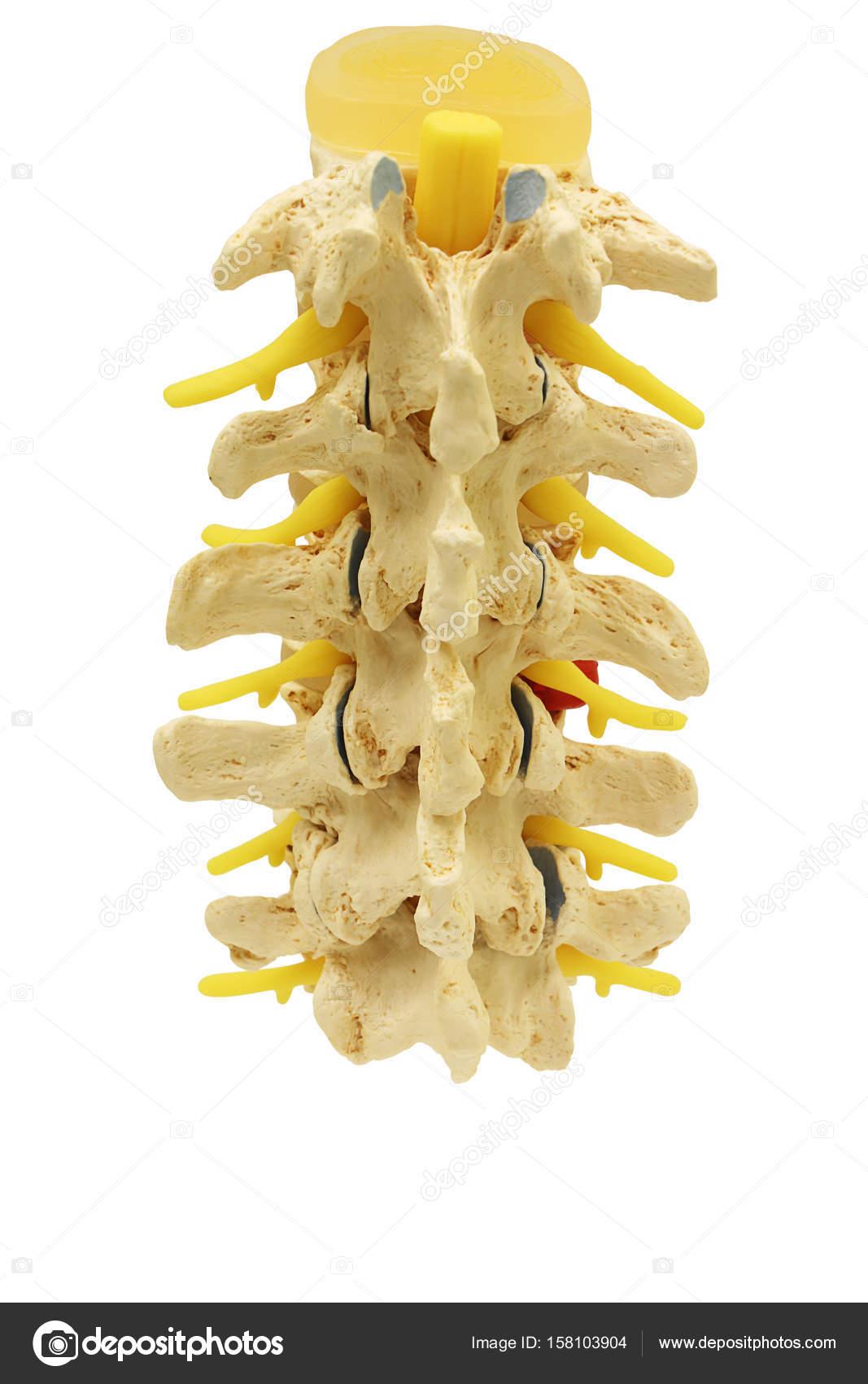 Rückansicht des Kunststoff-Studie Modell Rückgrat Spinalnerven ...