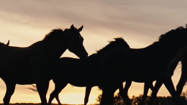 Horses running on a grass field.Sunset shot in slow mo