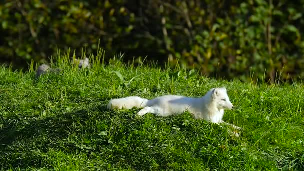 Arctic Fox laying on grass