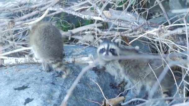 Baby Raccoons Together