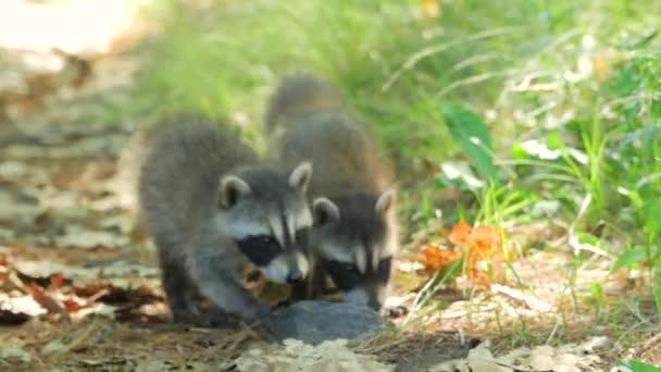 Cute Baby Raccoons Walk Towards