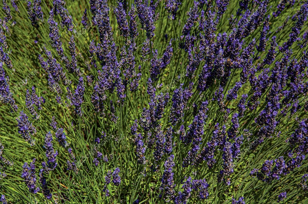 Close-up of lavender flowers under sunny blue sky, near the village of Gordes.