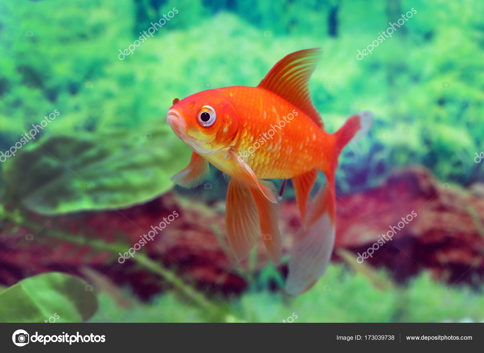 Goldfish red comet floats on the background of algae — Stock Photo ...