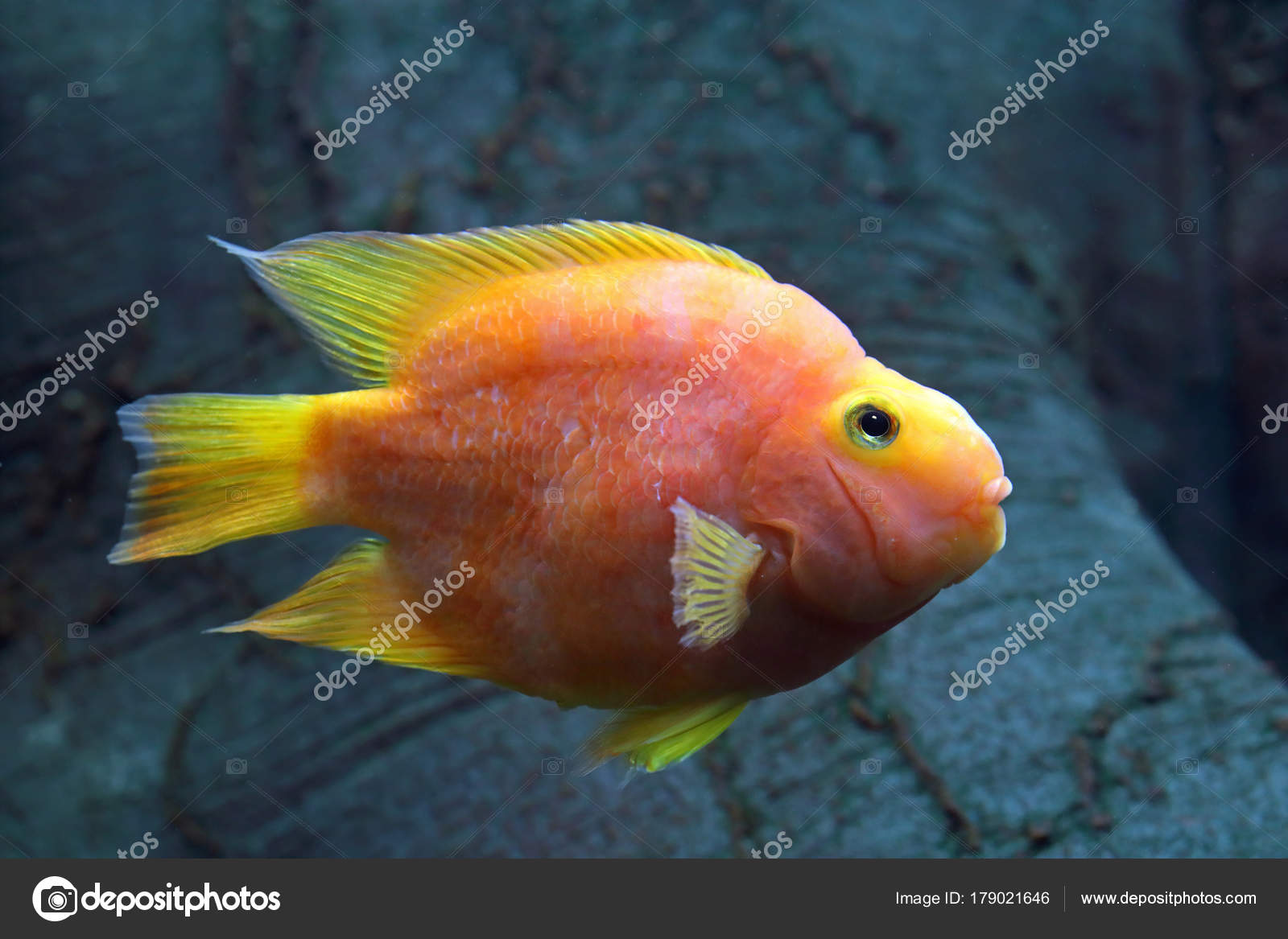 red parrot cichlid aquarium fish colorful parrot closeup stock