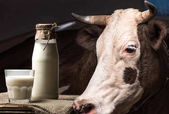 cow and milk in glass