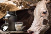 kráva a mléko
