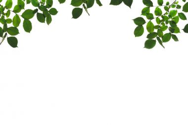 Branches and twigs with green leaves isolated on white stock vector