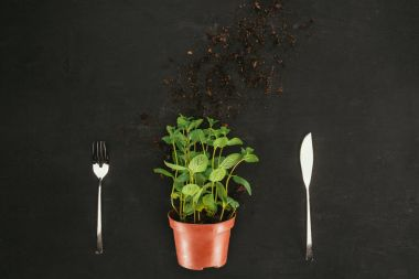 top view of mint in pot with soil and fork with knife on black