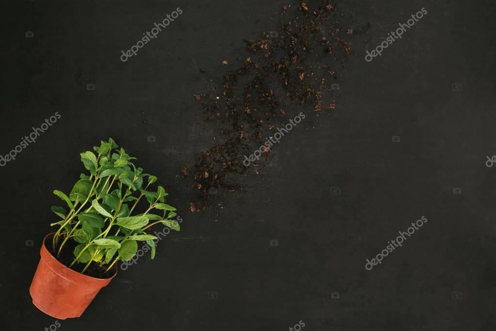 top view of fresh mint in pot and soil on black