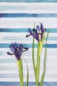 Fotografie Iris sibirica flowers over striped aquarelle background