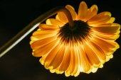 schöne Gerbera-Blume isoliert auf schwarz