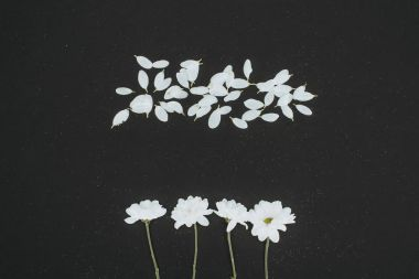Top view of white daisies with petals isolated on black stock vector