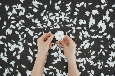 Top view of cropped female hands holding daisy with petals over black background stock vector