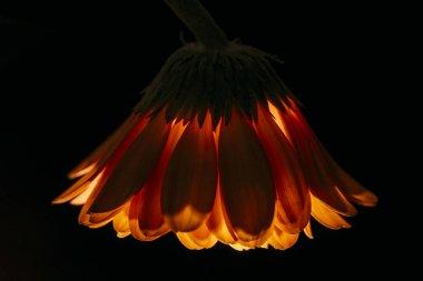 siyah izole güzel gerbera çiçek