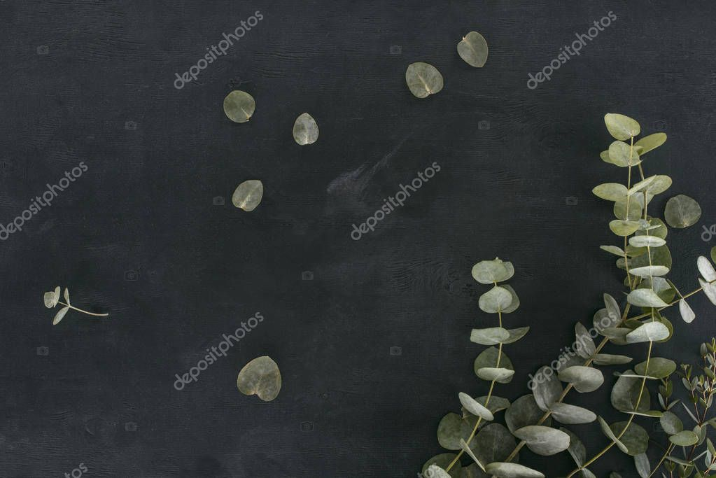 green eucalyptus leaves and branches over black background