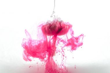 close up view of pink flower and ink splashes isolated on white