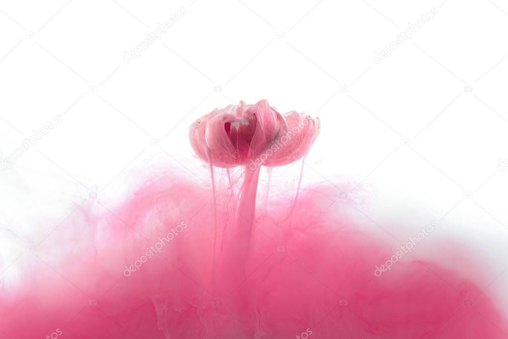 close up view of pink flower and ink splash isolated on white