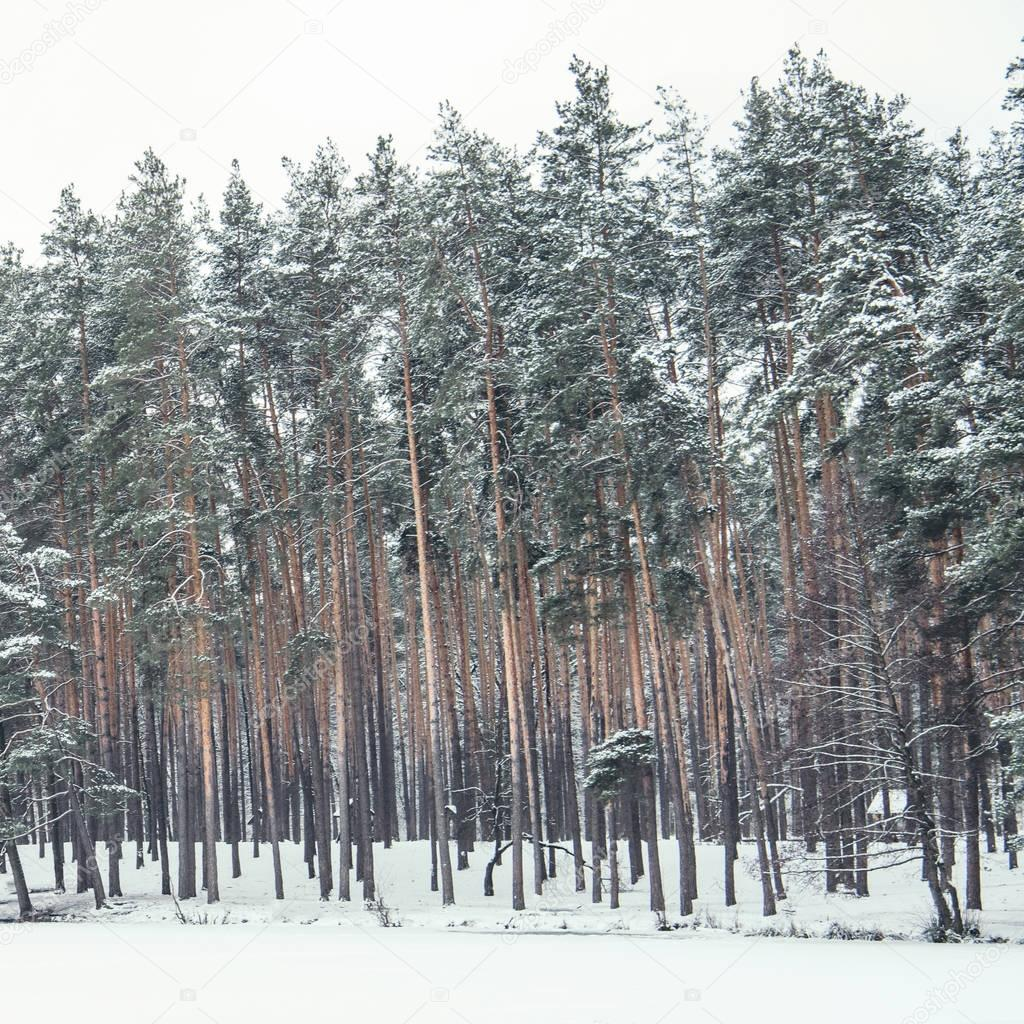 high green pines covered with snow in forest