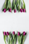 top view of fresh purple tulips isolated on white with copy space