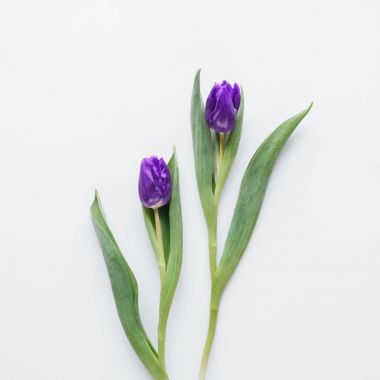top view of two purple tulips, isolated on white