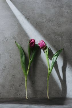 two purple spring tulips on grey surface with shadow