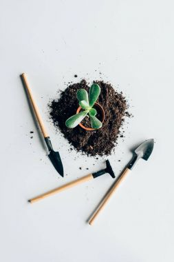 top view of beautiful green plant in pot, soil and gardening tools on grey