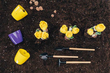 top view of yellow flowers growing in soil, gardening tools and flower pots on ground