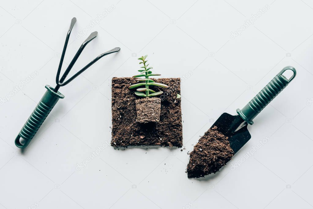 top view of beautiful green plant in soil and gardening tools on grey