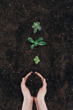 cropped shot of person holding soil and beautiful green plants growing in ground