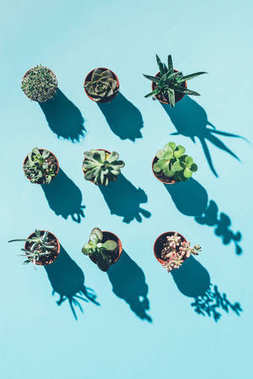 top view of beautiful green houseplants in pots with shadows on blue