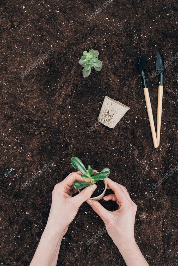 cropped shot of hands holding green plant and flower pot above ground with gardening tools