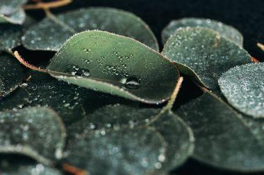 selective focus of beautiful green eucalyptus with dew drops